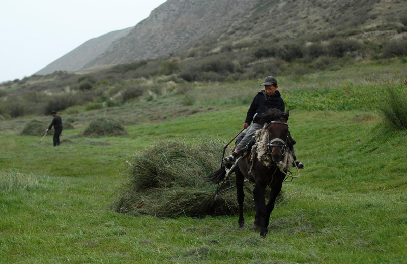 Bringing in hay by horseback ,Kyrgyzstan